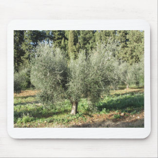 Olive trees in a sunny day. Tuscany, Italy Mouse Pad
