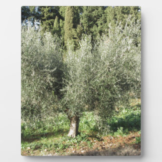 Olive trees in a sunny day. Tuscany, Italy Plaque