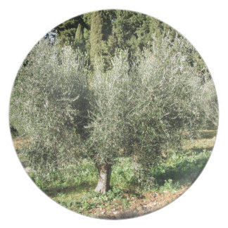 Olive trees in a sunny day. Tuscany, Italy Plate