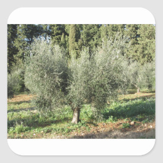 Olive trees in a sunny day. Tuscany, Italy Square Sticker