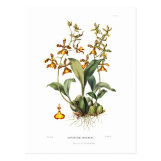 Oncidium insleayi postcard