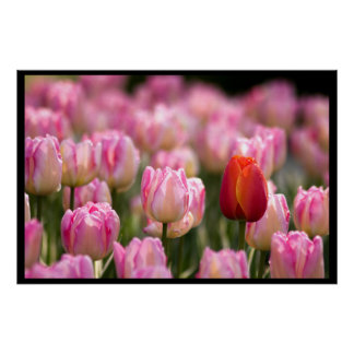One Red Tulip in Sea of Pink Poster