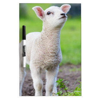 One white newborn lamb standing in green grass dry erase board