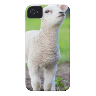 One white newborn lamb standing in green grass iPhone 4 Case-Mate cases