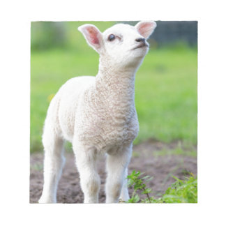 One white newborn lamb standing in green grass notepad