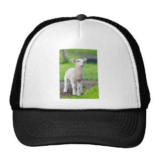 One white newborn lamb standing in green grass trucker hat