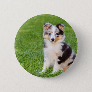 One young sheltie dog sitting on grass 2 inch round button