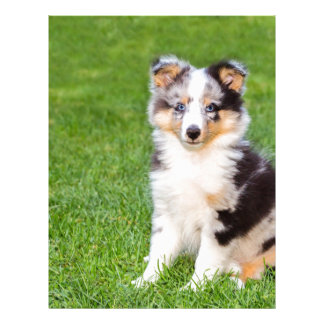 One young sheltie dog sitting on grass letterhead