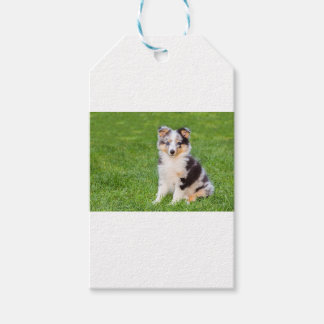 One young sheltie dog sitting on grass pack of gift tags