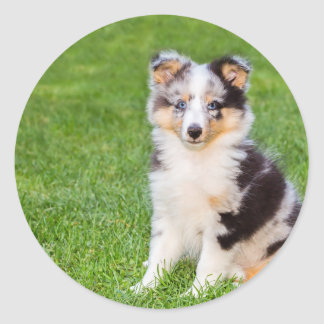 One young sheltie dog sitting on grass round sticker