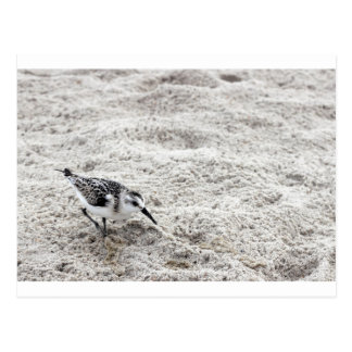 One Young Snowy Plover Bird Postcard