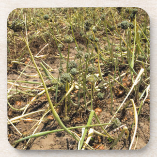 Onion Field Landscape Beverage Coaster