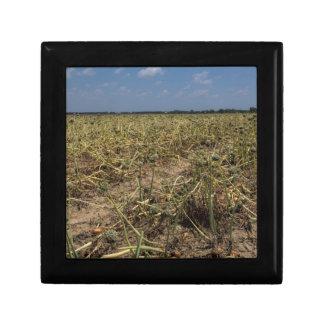 Onion Field Landscape in Georgia Trinket Box