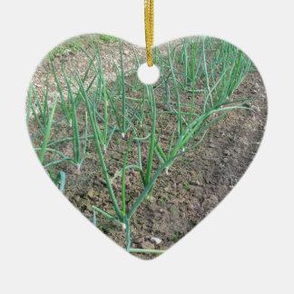 Onion plants in rows in the garden ceramic heart ornament