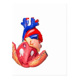 Open model human heart on white background postcard
