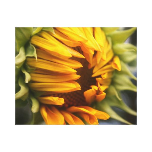 Opening Sunflower Stretched Canvas Prints