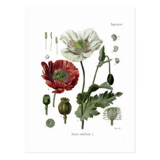 Opium poppy postcard
