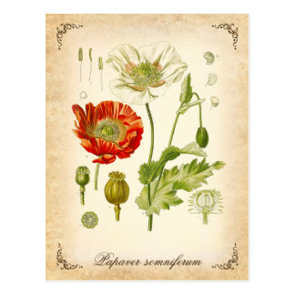 Opium poppy - vintage illustration postcard
