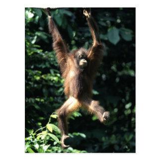Orang utan in Borneo Postcard