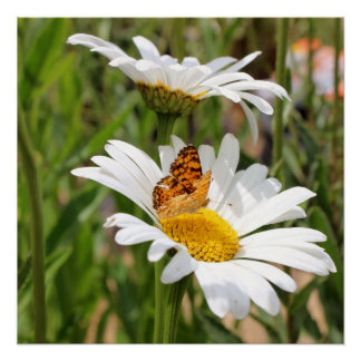Orange and Black Butterfly on White Shasta Daisy Poster