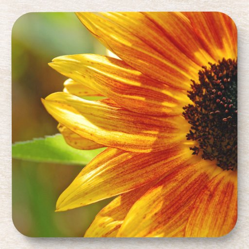 Orange and yellow sunflower blossoms coaster