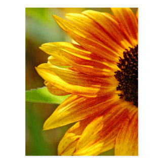 Orange and yellow sunflower blossoms postcard