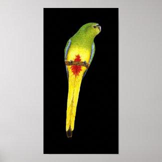 Orange-bellied Parrot - Neophema chrysogaster Poster