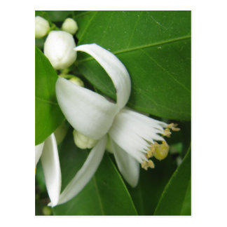 Orange Blossom Postcard
