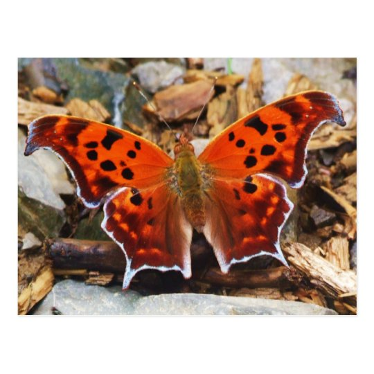 Orange Butterfly Postcard