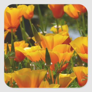 Orange California Poppies_3.1 Square Sticker