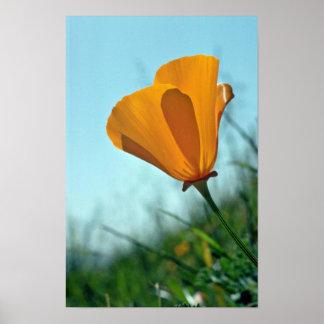 Orange California Poppy, Backlit flowers Poster