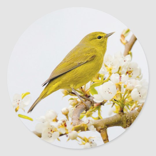 Orange-Crowned Warbler Amid the Cherry Blossoms Round Sticker