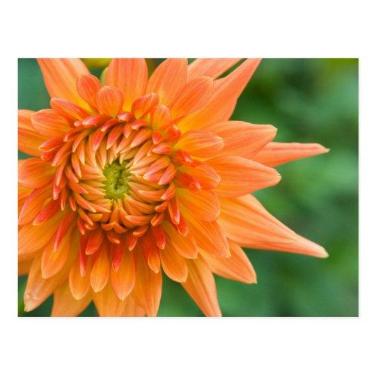 Orange Dahlia Postcard