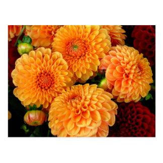 Orange Dahlias beautiful flowers photo postcard