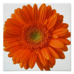Orange Daisy Poster Print