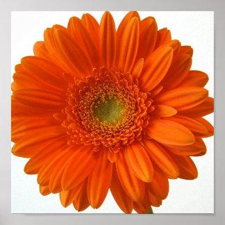 Orange Daisy Poster Print
