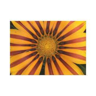 Orange Daisybush Canvas Print
