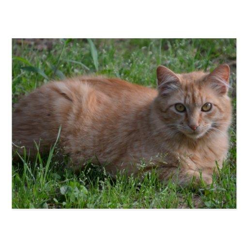 Orange de chat tigré carte postale