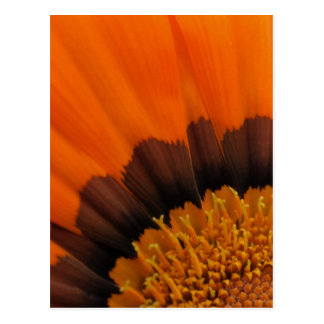 Orange Gazania Postcard