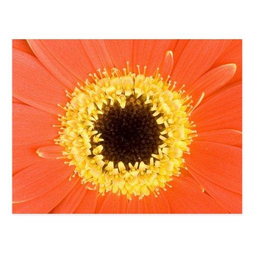 Orange Gerbera Flower Postcards