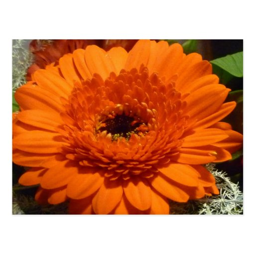 Orange Gerbera Postcard