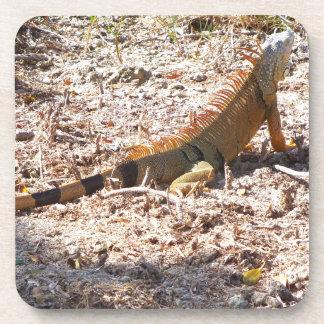 Orange Iguana hunts Coaster