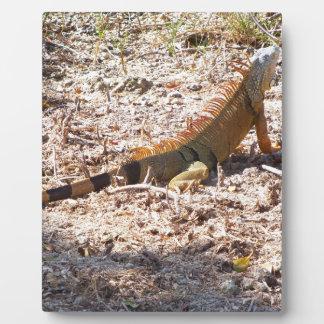 Orange Iguana hunts Plaque