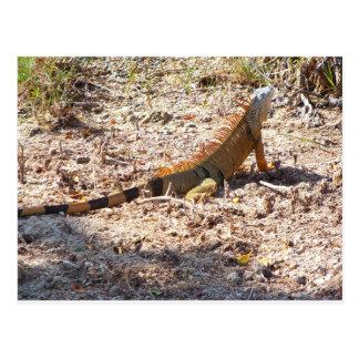 Orange Iguana hunts Postcard