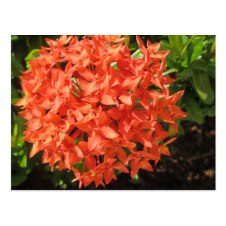 Orange Ixora Flower Postcard