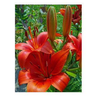 Orange Lily Blossoms Postcard