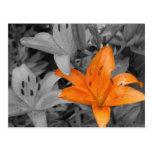 Orange Lily Hand-Coloured Postcards