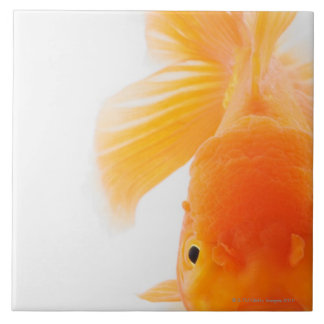 Orange lionhead goldfish (Carassius auratus) Tile