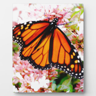 Orange Monarch on pink flowers Plaque