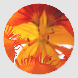 Orange Nasturtium Flower Classic Round Sticker